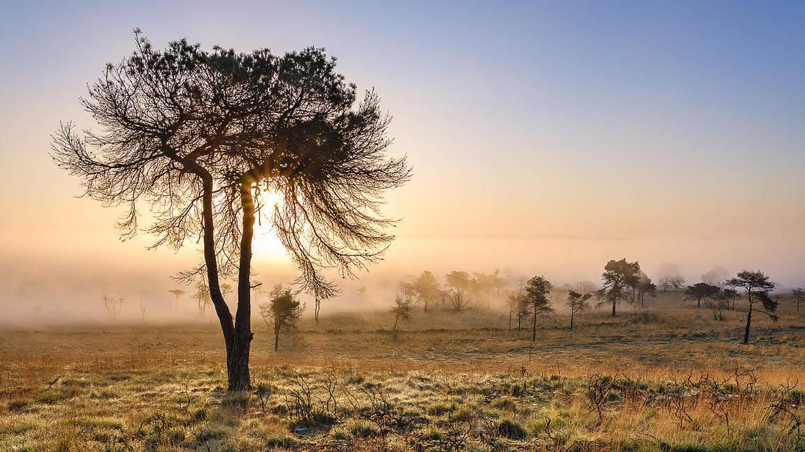 Misty sunrise and silhouetted pine tree on the heathland of Woodbury Common, near Exmouth, Devon, UK