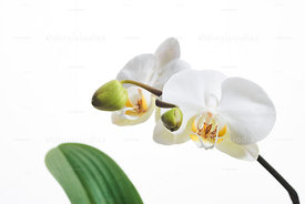Phalaenopsis Orchid blossom on white background.