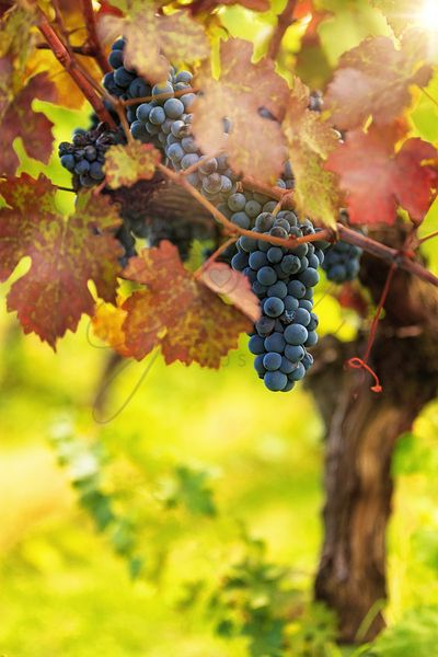 Red Wine Grapes Ready for Harvest