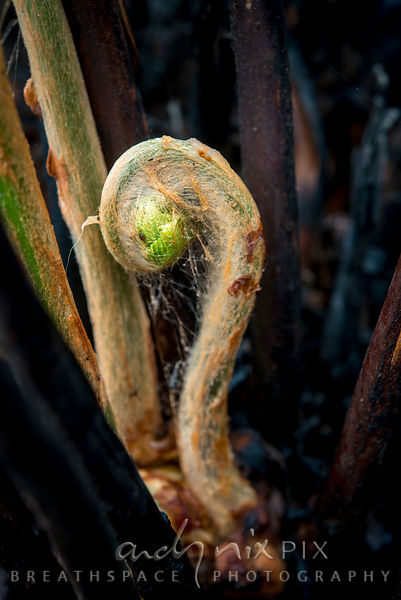 Young fern shoots unfurling from the charred remains of the original plant
