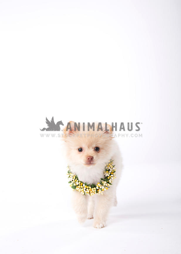 Fuzzy cream colored puppy with necklace walks toward camera