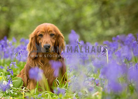 Tan Standard Long Haired Dachshund sitting in Bluebells flowers