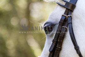 grey horse eye with tack on, close up