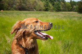 profile of happy Golden Retriever in a field