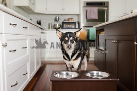 husky dog ready to eat from feeder
