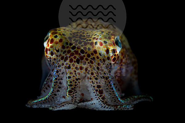 Euprymna scolopes - Hawaiian Bobtail squid