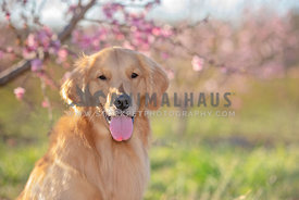 close up of golden retriever in front of blooming peach trees on sunny day
