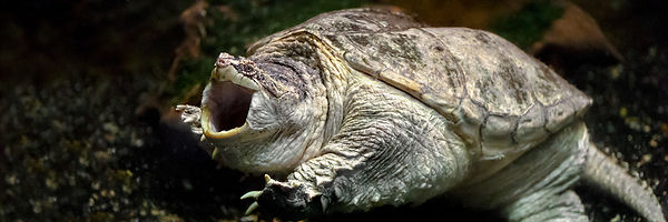 Tortue hargneuse - Common Snapping Turtle (Chelydra serpentina)