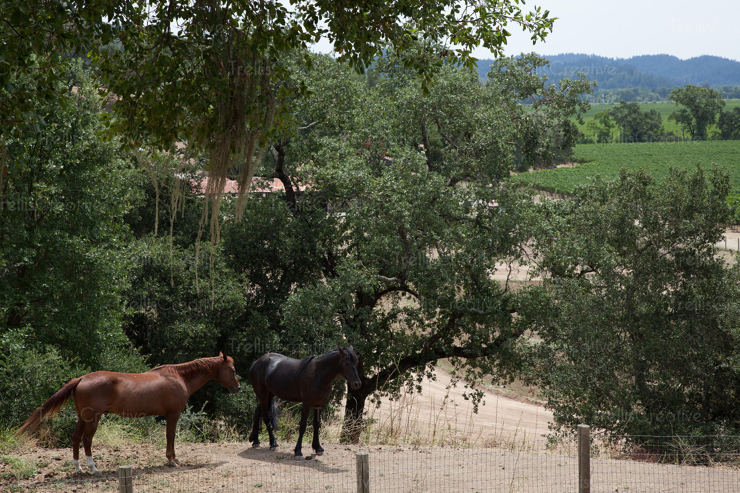 View of two horses standing on ranch with vineyards in the background