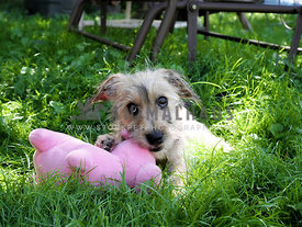 terrier puppy chewing on stuffed pig toy in yard