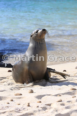 Galapagos Sea Lion (Zalophus californianus wollebacki) on the beach at Cerro Brujo, San Cristobal, Galapagos