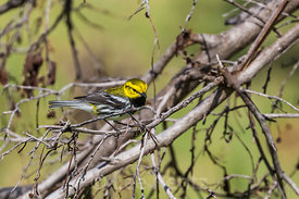 Black-throated Green Warbler in Dry Tortugas National Park