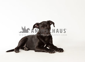 Portrait of isolated black puppy on white background