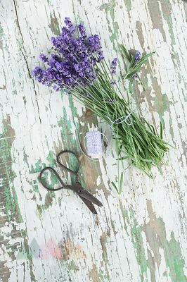 Bunch of fresh lavendel flowers on wood, scissors and string