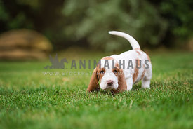 young bassett hound puppy walking on grass