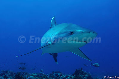 Shark Albimarginatus in Rangiroa atoll French Polynesia
