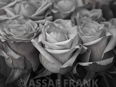 Bunch of roses, close-up