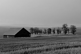 Old barn with tree house black and white