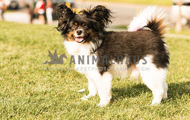 Papillion dog with big fluffy ears standing in the grass