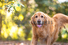 happy Golden Retriever with with pretty back light