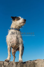 Looking up at a Jack Russell Terrier standing on a rock with clear blue sky