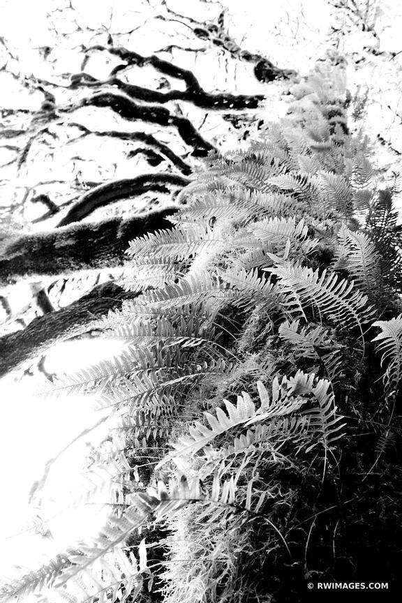 MOSS AND FERN COVERED TREES OLYMPIC NATIONAL PARK WASHINGTON BLACK AND WHITE