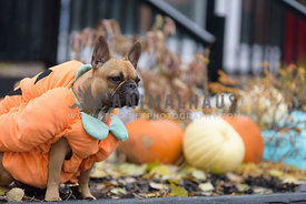 Frenchie dressed up as a pumpkin