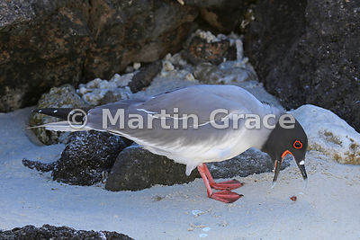 Swallow-Tailed Gull (Larus furcatus) with bill open and regurgitated object, Darwin Beach, Genovesa, Galapagos Islands