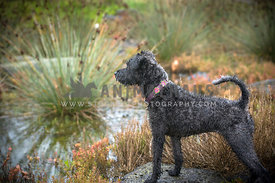 Schnauzer Poodle Cross standing on rock
