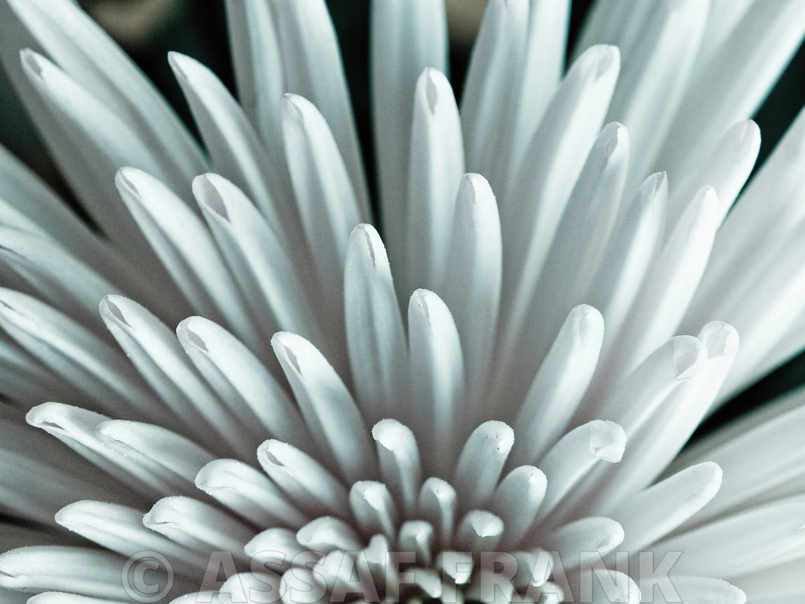 Close-up of Chrysanthemum flower