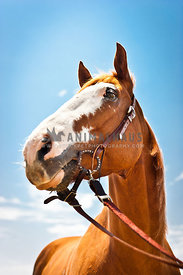 Horse portrait set against blue sky