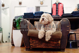 labradoodle sitting on leather chair inside stylish clothing boutique