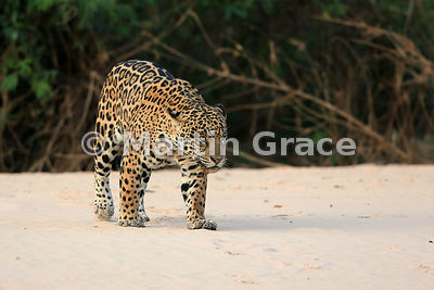 Female Jaguar 'Hunter' changes her mind and walks the other way along the beach, Three Brothers River, Nothern Pantanal, Mato...