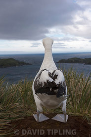 Wandering Albatross Diomeda exulans  on Albatross Island in Bay of Isles South Georgia