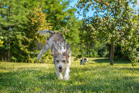 Scruffy terrier bounds through the grass in a big yard