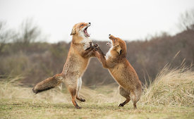 Fighting Foxes, Netherlands