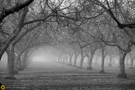 Walnut Orchards in the Fog #4