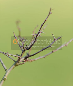 Stock photography of blackthorn - Prunus spinosa
