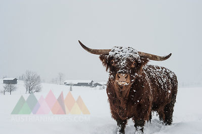 Austria, Salzburg State, Altenmarkt-Zauchensee, highland cattle in snow drift