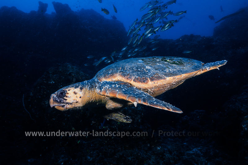 Underwater Mozambique - Hawksbill sea turtle