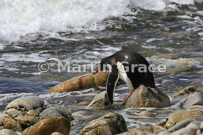 Gentoo Penguin (Pygoscelis papua papua) about to enter the sea, Pebble Island