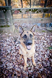 german shepherd sitting on leaves in fall