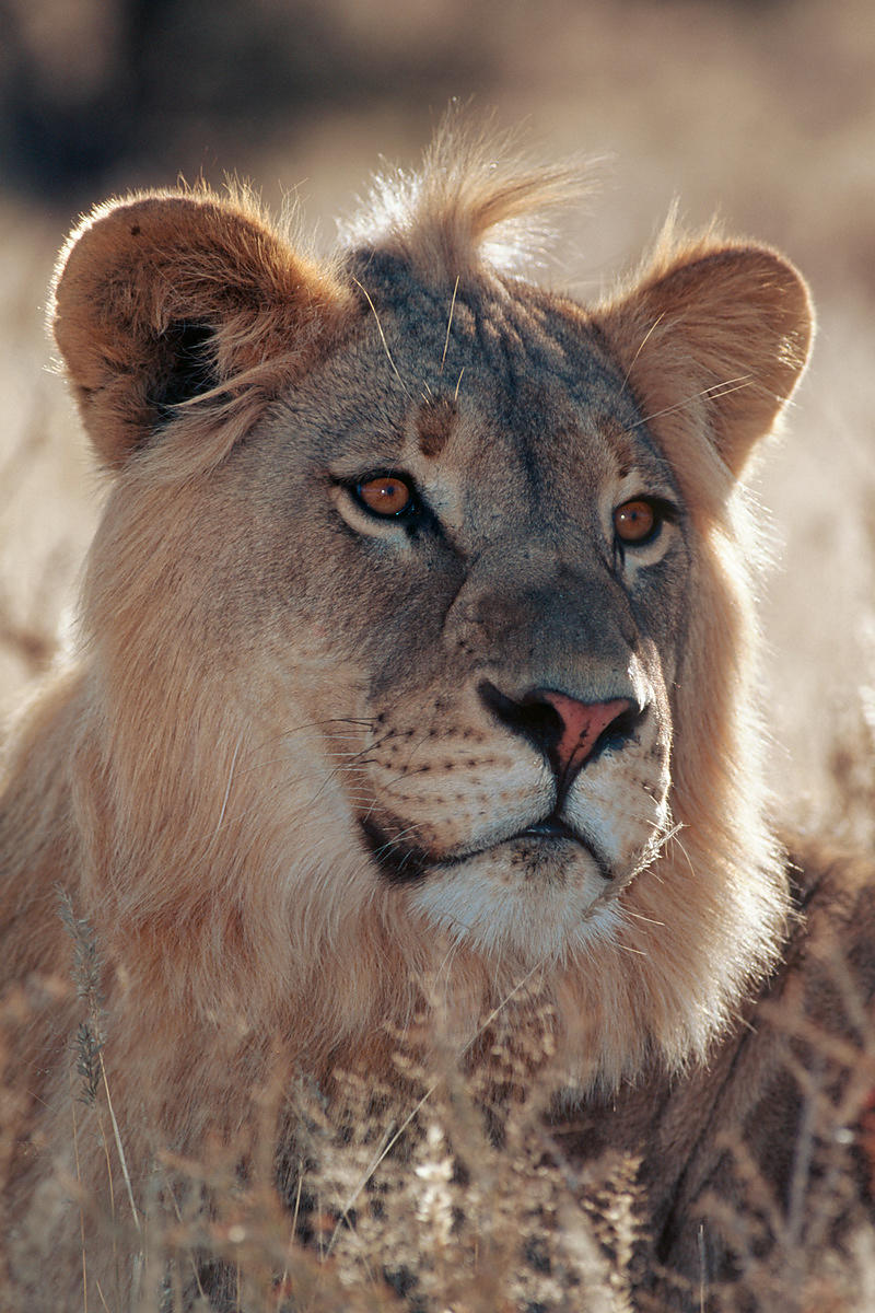 Portrait of a Young Male Lion