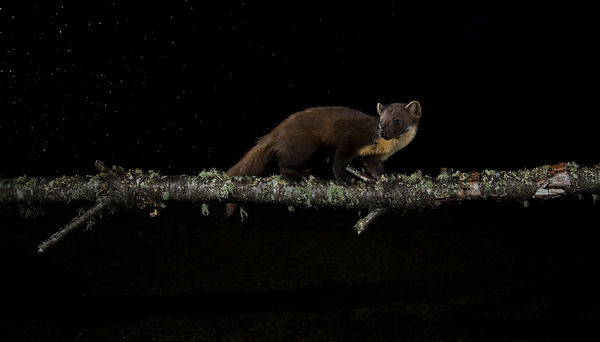 Pine Marten on a rainy night