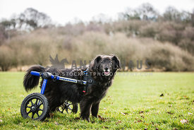 Disabled dog using wheels