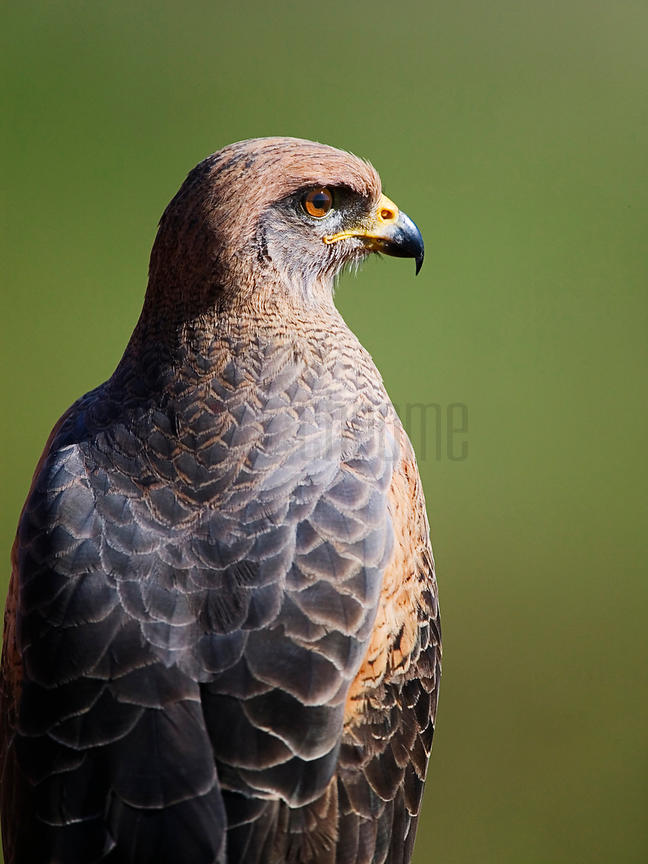 Savanna Hawk Portrait, Transpantaneira Highway, Pantanal, Mato Grosso, Brazil