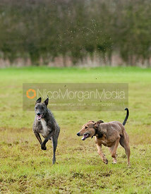 A lurcher puppy playing