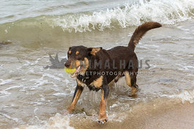 Kelpie on beach waiting in water with tennis ball in mouth. Small wave coming in.
