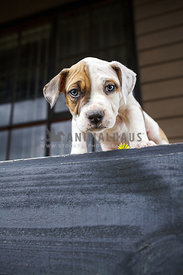 Pied american staffordshire terrier with eye patch peering over edge of balcony