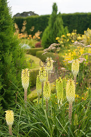 Kniphofia Percy's Pride and Cypress in yellow-themed section of parterre